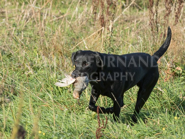 Yorkshire Gundog NoviceFT 6 Oct 2017-0358