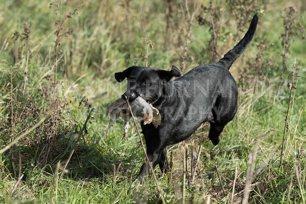 Yorkshire Gundog NoviceFT 6 Oct 2017-0615