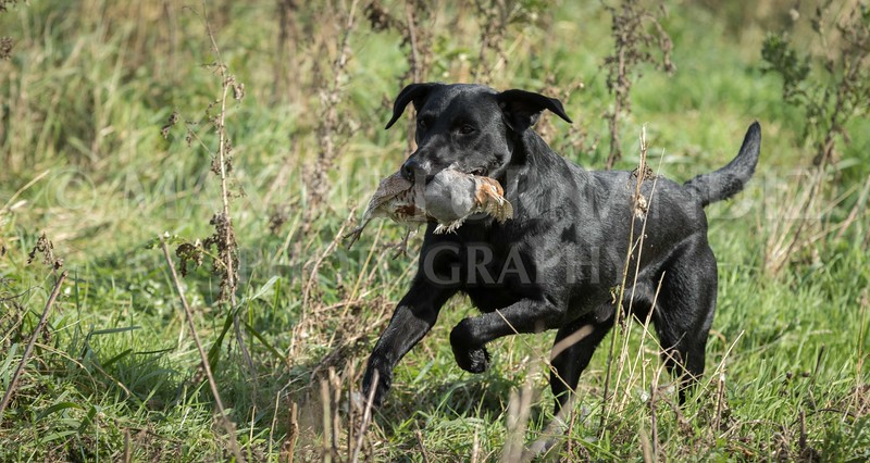 Yorkshire Gundog NoviceFT 6 Oct 2017-0613