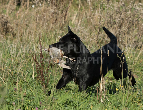 Yorkshire Gundog NoviceFT 6 Oct 2017-0350