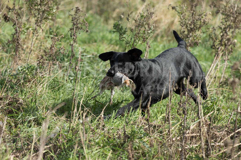 Yorkshire Gundog NoviceFT 6 Oct 2017-0610