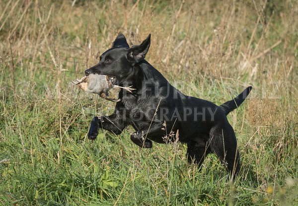 Yorkshire Gundog NoviceFT 6 Oct 2017-0354