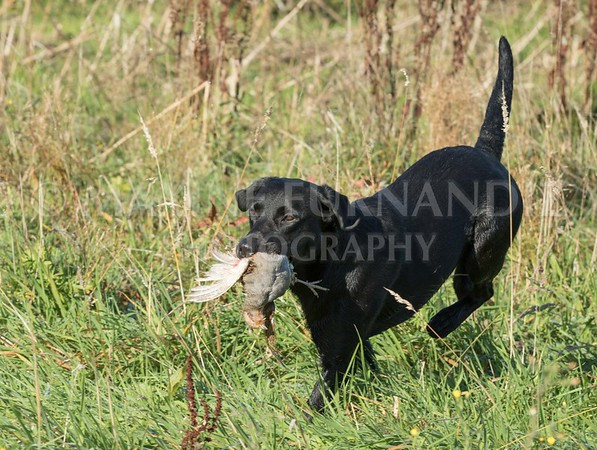 Yorkshire Gundog NoviceFT 6 Oct 2017-0357