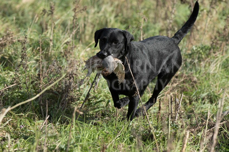 Yorkshire Gundog NoviceFT 6 Oct 2017-0616