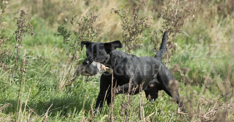 Yorkshire Gundog NoviceFT 6 Oct 2017-0609