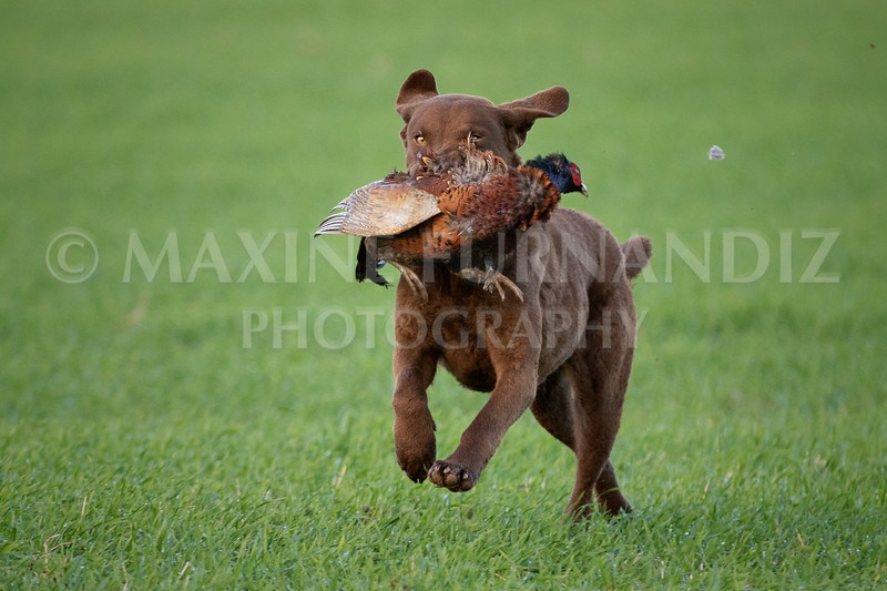 Vi Diddy's dog bringing pheasant -9743