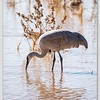 Greater Sandhill Crane / Bosque Del Apache NWR / New Mexico