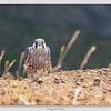 Peregrine Falcon / Yaquina Head Outstanding Natural Area / Oregon