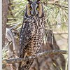 Long-eared Owl / Lee Metcalf NWR / Montana