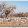 Greater Sandhill Cranes / Bernardo Wildfowl Management Area / New Mexico