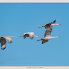 Greater Sandhill Cranes / Bosque del Apache NWR / New Mexico