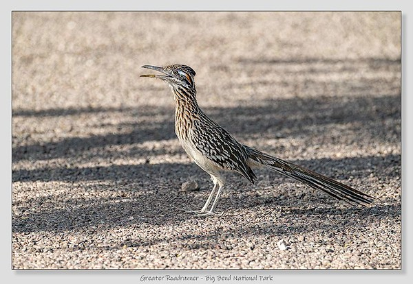 Greater Roadrunner / Big Bend NP / Texas