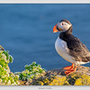 Atlantic Puffin / Iceland