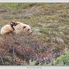 Grizzly Bear and Cub / Denali National Park / Alaska