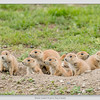 Black-Tailed Prairie Dogs / Montana