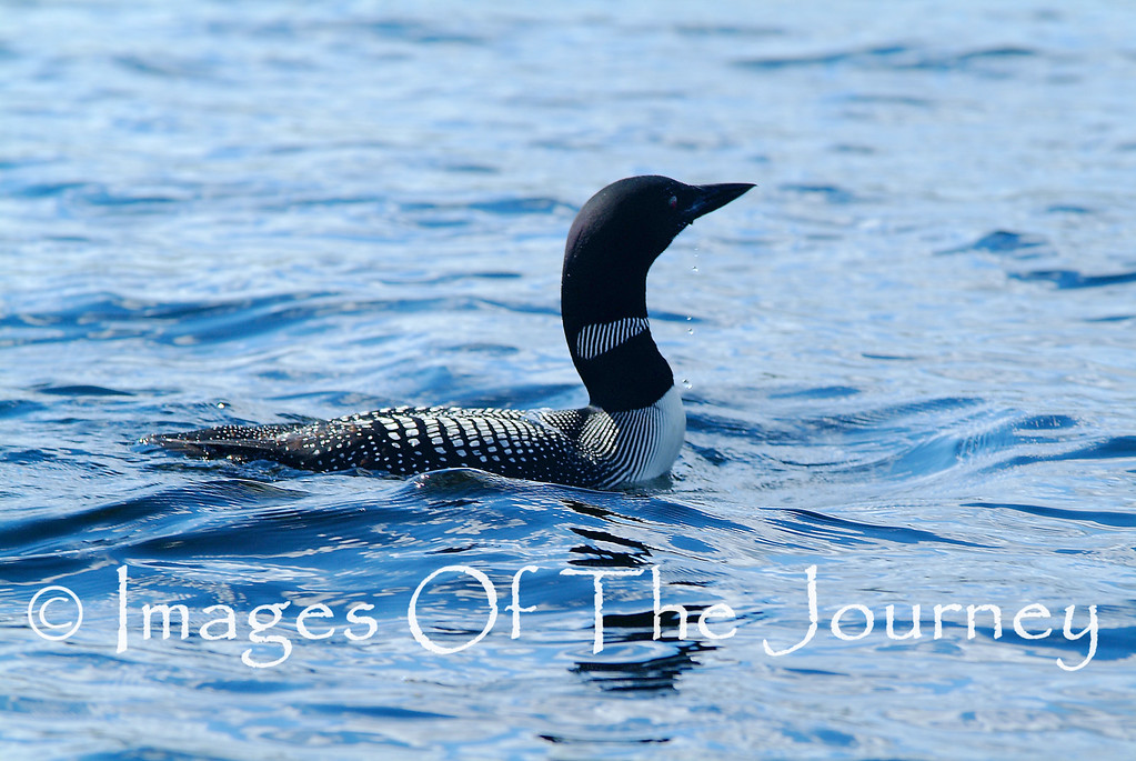 The Loon is the quintessential bird of Canada's near north. It has a haunting cry that is most often heard echoing over the water of the tens of thousands of lakes that nestle in the smooth rocky curves of the Precambrian shield that makes up the majority of Ontario Canada.