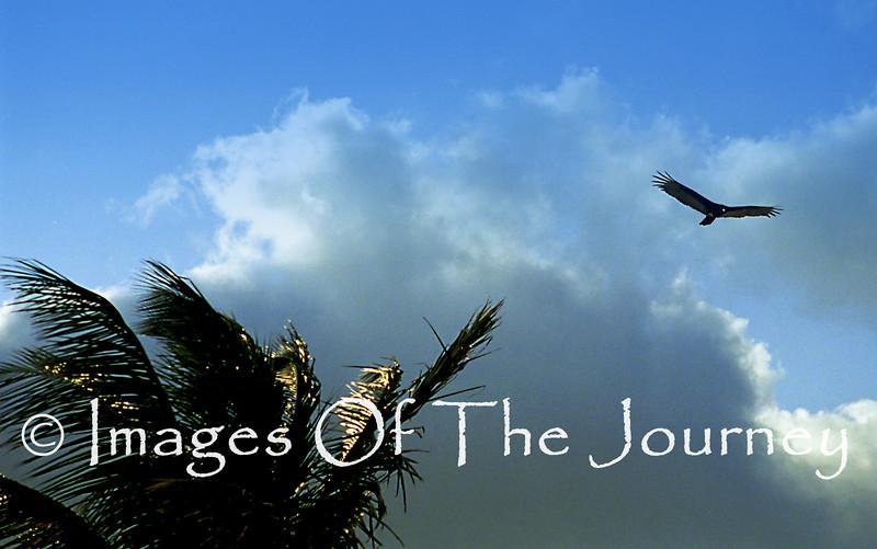 Vulture over Cuba
