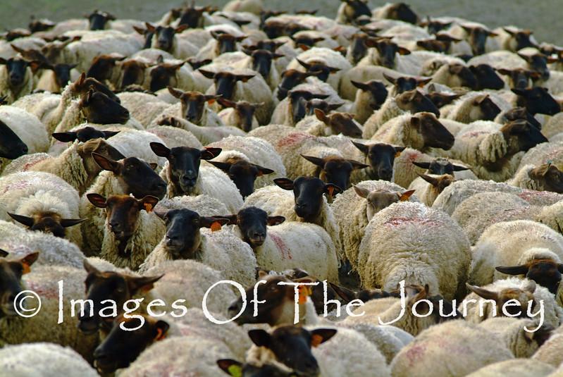 Quick follow those Sheep
