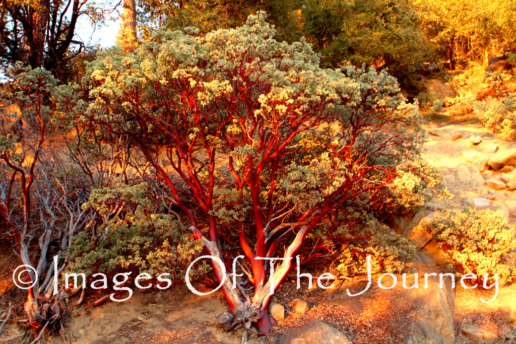 Burning Bush<br /> <br /> Yosemite National Park California<br /> <br /> Waterloo University Club Sale $180