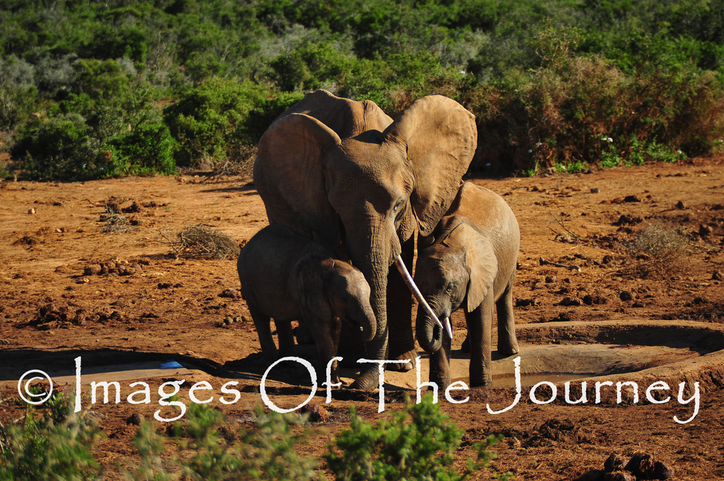 Mother and Children <br /> South Africa<br /> Addo Elephant National Park