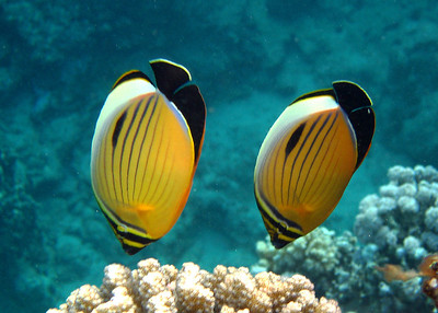 BLACKTAILED BUTTERFLYFISH - EGYPT