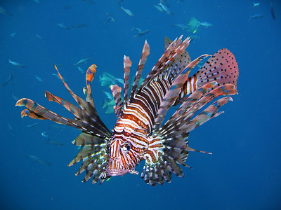 RED LIONFISH