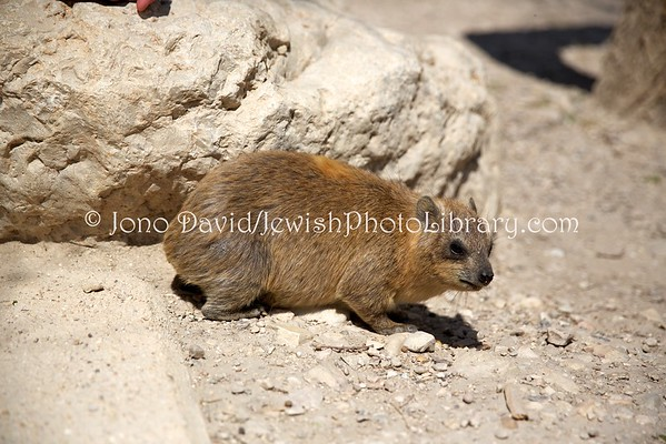 ISRAEL, Ein Gedi. Rock hyrax, aka rock badger cape hyrax (4.2016)