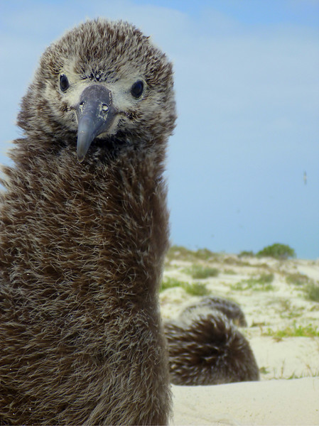 Laysan Albatross Chick , Midway