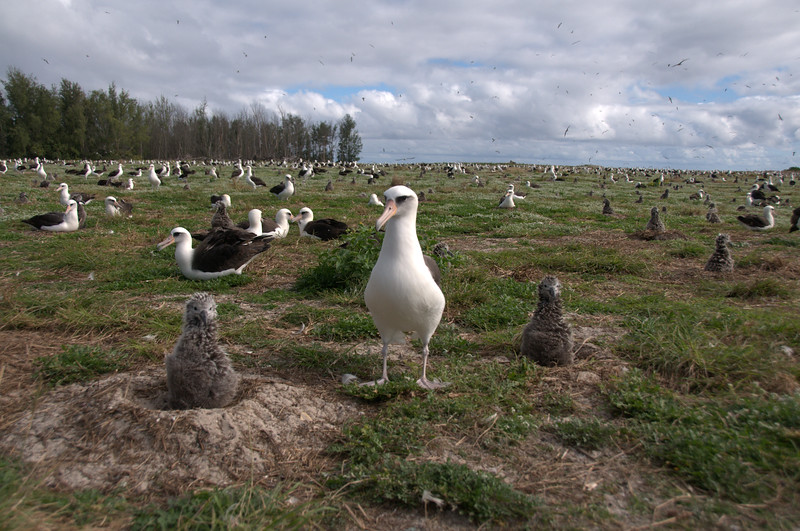 Laysan Albatrosses colony, Midway Island