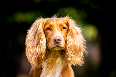 Tan and white working cocker spaniel