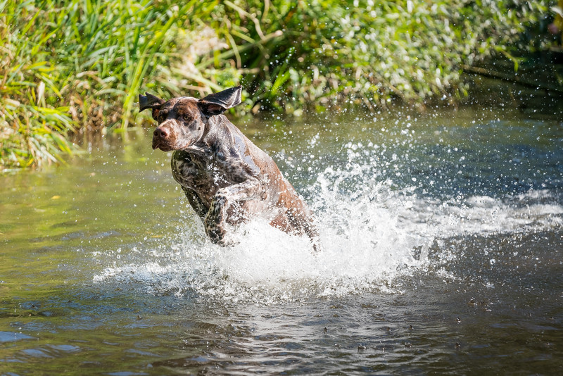 MIL Pet Photography - German Pointer launching himself out of the stream.