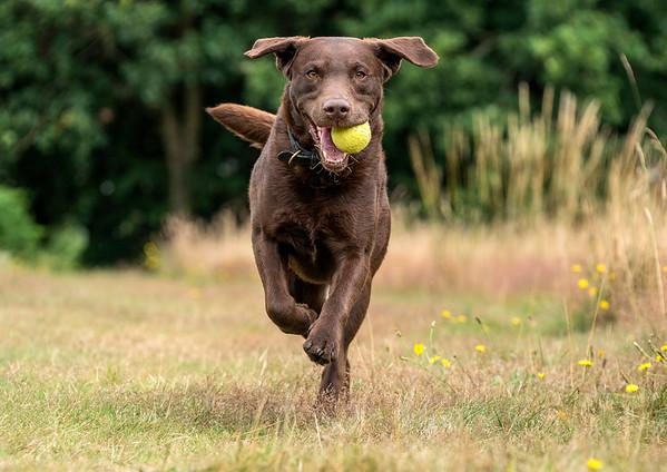 MIL Pet Photography - Chocolate Labrador
