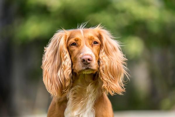 MIL Pet Photography - Working Cocker Spaniel