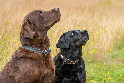 MIL Pet Photography - young Chocolate Labrador and mature Black Labrador.