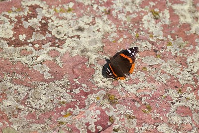 admiral Red Admiral Vanessa Atalanta Blue Mounds State Park Rock County MN IMG_9897 CR2