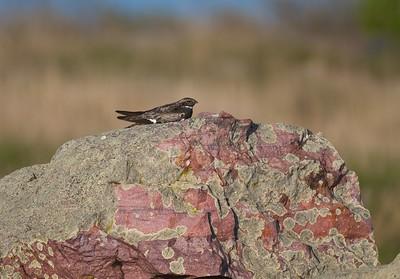 Common Nighthawk near Interpretive Center Blue Mounds State Park Rock Co MN IMG_9921