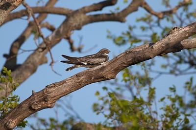 Common Nighthawk near Interpretive Center Blue Mounds State Park Rock Co MN IMG_9955