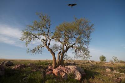 Turkey Vulture Blue Mounds State Park landscape Rock Co MN IMG_9973