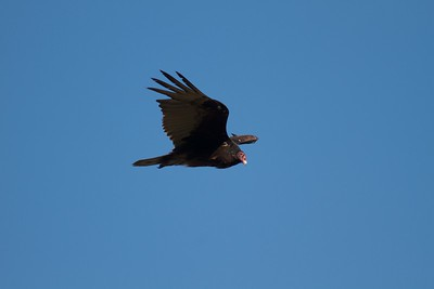 Turkey Vulture near Interpretive Center Blue Mounds State Park Rock Co MN IMG_9903 CR2