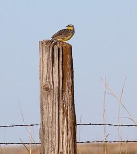 Western Meadowlark on fence post near Touch the Sky NWR Rock County MN IMG_9989 CR2