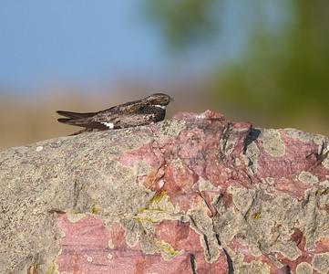 Common Nighthawk near Interpretive Center Blue Mounds State Park Rock Co MN IMG_9927