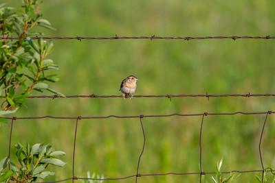 Grasshopper Sparrow Felton Prairie Clay County MN -6510
