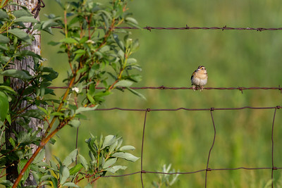 Grasshopper Sparrow Felton Prairie Clay County MN -6514