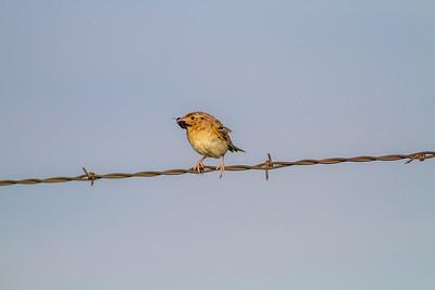 Grasshopper Sparrow Felton Prairie Clay County MN -6496