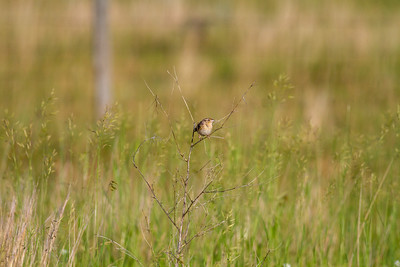 Grasshopper Sparrow Felton Prairie Clay County MN -6505
