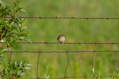 Grasshopper Sparrow Felton Prairie Clay County MN -6519
