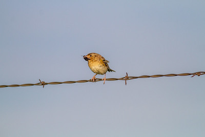 Grasshopper Sparrow Felton Prairie Clay County MN  IMG_6496