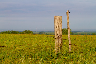 Eastern Kingbird Felton Prairie Clay County MN  IMG_6464