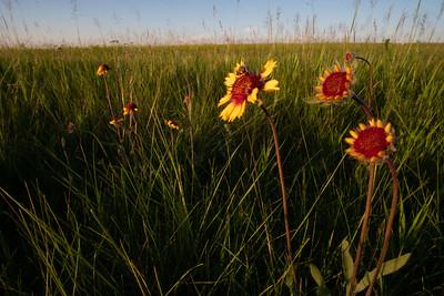 Gaillardia aristata Blanketflower Blanket Flower Felton Prairie Clay County MN  DSC03820