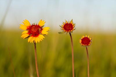 Gaillardia aristata Blanketflower Blanket Flower Felton Prairie Clay County MN  IMG_6271